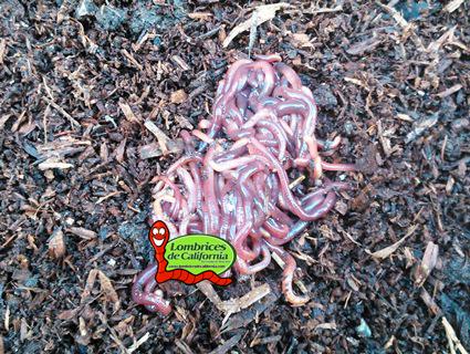 lombriz compost