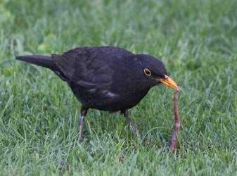A male BLACKBIRD ('Turdus merula') eating an earthworm in Madrid (Spain).