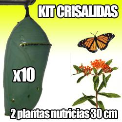imagen crisalida mariposa monarca